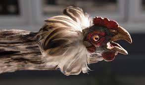 chicken frightened
